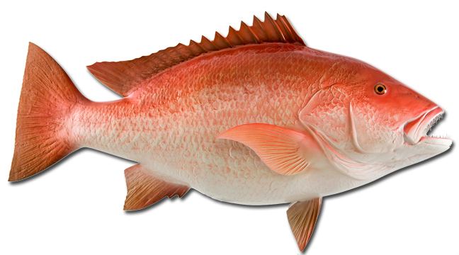 Snapper fish gallery for Red snapper fishing